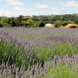 Matanzas Creek Winery - Lavender blossom - Santa Rosa, CA, Vereinigte Staaten