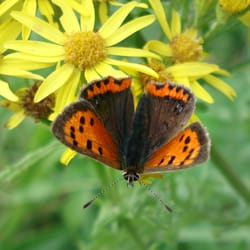 Small Copper Butterfly, Kilchattan Bay, Isle of Bute