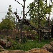 Yuan Zi La femelle panda géant.