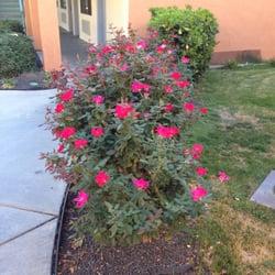 Holiday Inn Express SANTA NELLA - Beautiful roses lining the walkway. - Gustine, CA, Vereinigte Staaten
