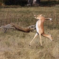 Leopard und Impala