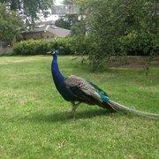 Limping peacock roaming