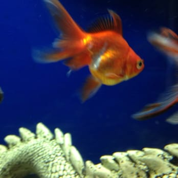 Freshwater aquarium fish san jose our koi and other gold for California freshwater fish