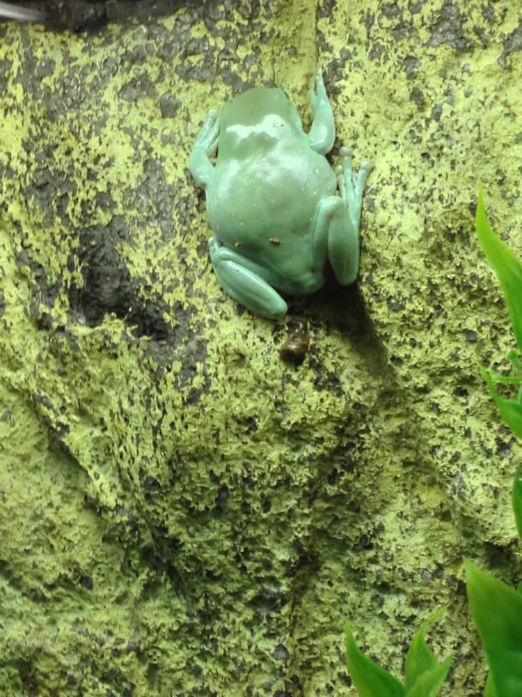 Gummy frog