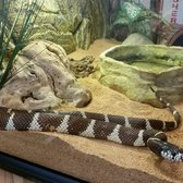 Martial Cottle Park - San Jose, CA, États-Unis. Jeffrey the California King Snake is the Wildlife Ambassador, living in the Visitor Center.