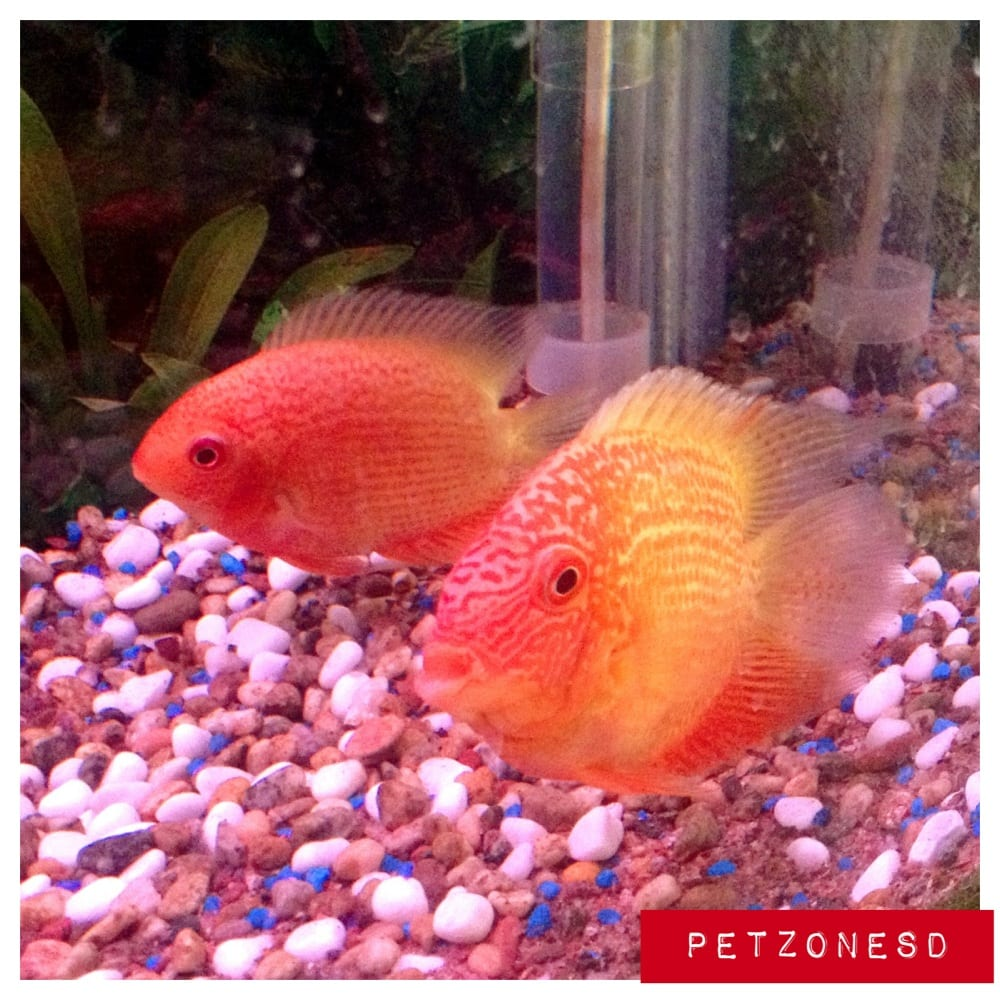 paired up red spotted severum cichlids yelp