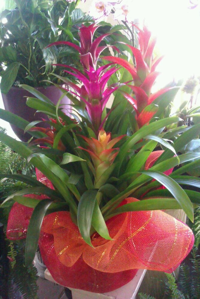 colorful bromeliads pineapple plant make excellent
