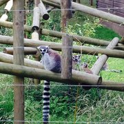 Baby lemurs!! So cute!