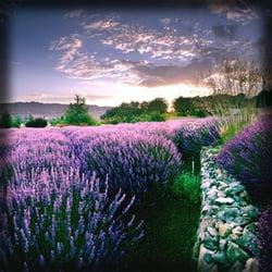 Matanzas Creek Winery - Lavender at Matanzas Creek Winery - Santa Rosa, CA, Vereinigte Staaten