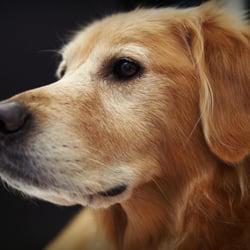 Golden retriever rescue of southern nevada animal for Dog rescue las vegas nv