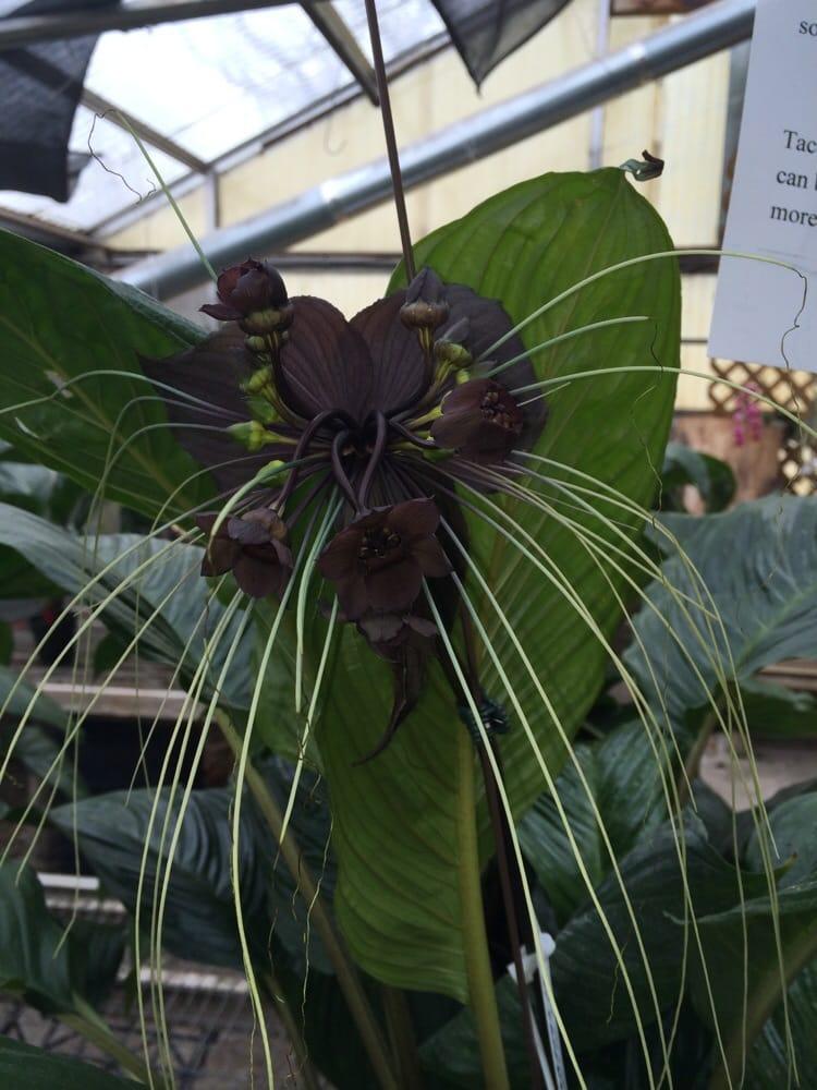 Devil Flower Plant Orchids by Hausermann Bat Plant or Devil Flower Villa Park il United