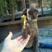 Rock & Roll Doggy Pet Grooming - Venice, CA, United States. Truman gives a poodle shake