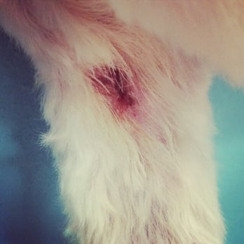 "PetSmart - 1/2"" gash on my dogs underarm from Petsmart Groomers. They used a liquid stitch & now he can't be active for 2 days. Awesome. - Tampa, FL, Vereinigte Staaten"