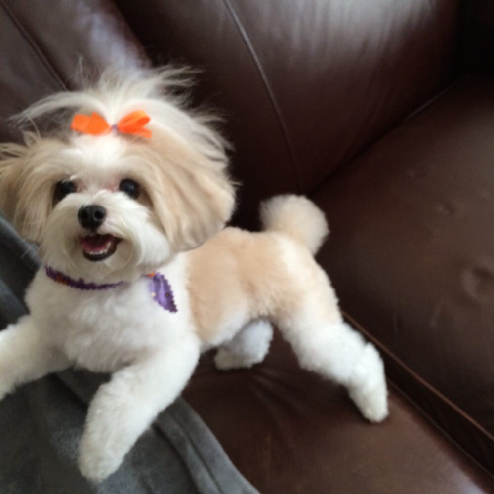 Maltipoo Dog Haircuts further Adult Maltipoo Haircuts. on maltipoo dog