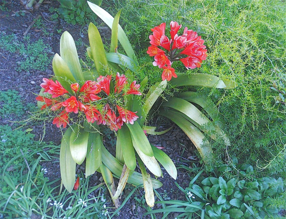 Clivia Miniata Bush Lily Native To South Africa Yelp