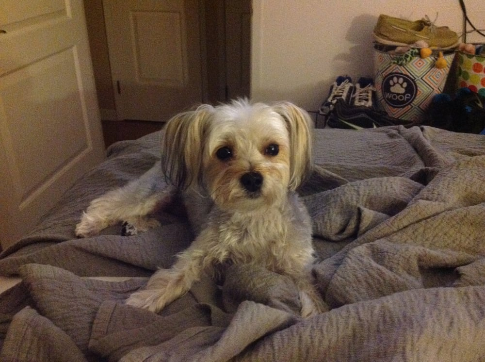 Dog grooming vacaville ca united states morkie full face long