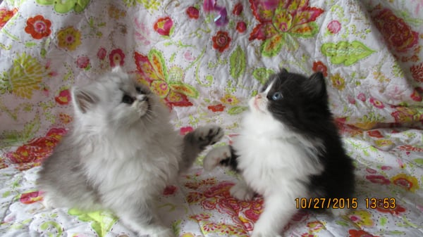 Persian Doll Face Teacup Kittens - Pet Adoption - McLean, VA - Phone ...
