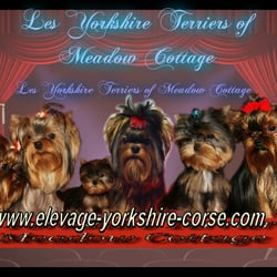 Les Yorkshire Terriers Of Meadow Cottage Get Quote 13 Photos