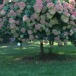 Photo Of Hilltop Gardens   Shelton, CT, United States. Pee Gee Hydrangea  Tree