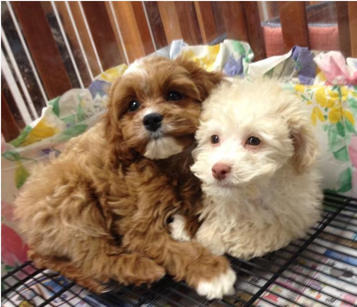 Hi We Are Cavapoo Lhasapoos Yelp