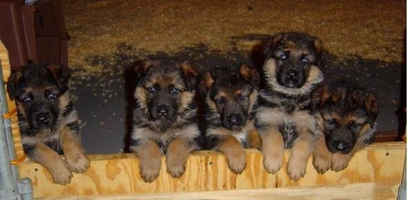 Photo Of Weston German Shepherds Ct United States