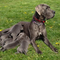 Mt Hood Danes - Request a Quote - Pet Breeders - Hood River