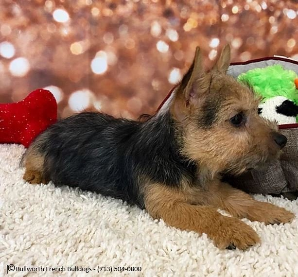 Elfin Norwich Terriers: Colbert, OK