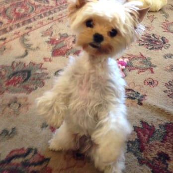 Yolis Yorkies Pet Breeders Brentwood Ca Phone Number Yelp
