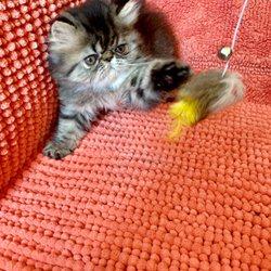 Phoenix Persians - 19 Photos - Pet Adoption - Phoenix, AZ