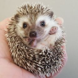 Morning Star Hedgehogs - 650 Douglas Ave, Addison, IL - 2019