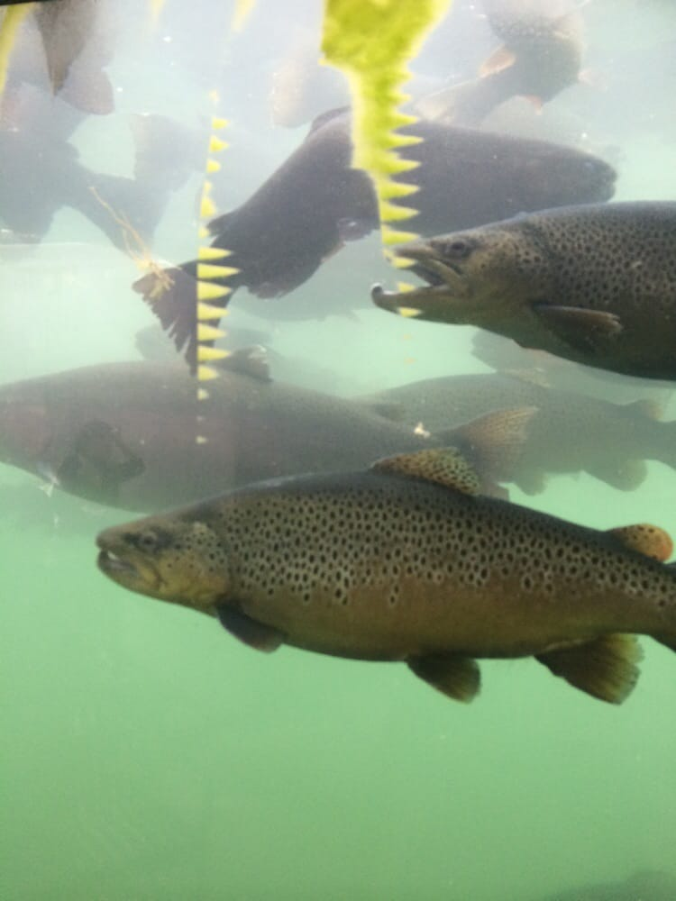 Rainbow trouts yelp for Spearfish fish hatchery
