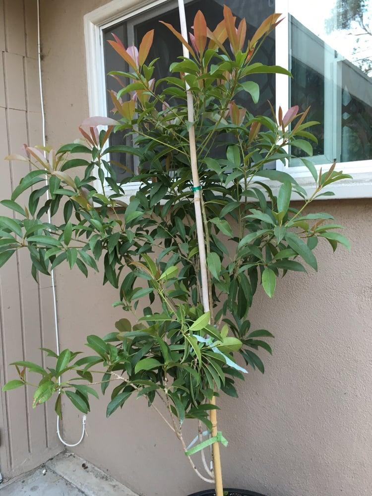 Sapodillia Alano 15 Gallons Nice Tree Good Price Yelp