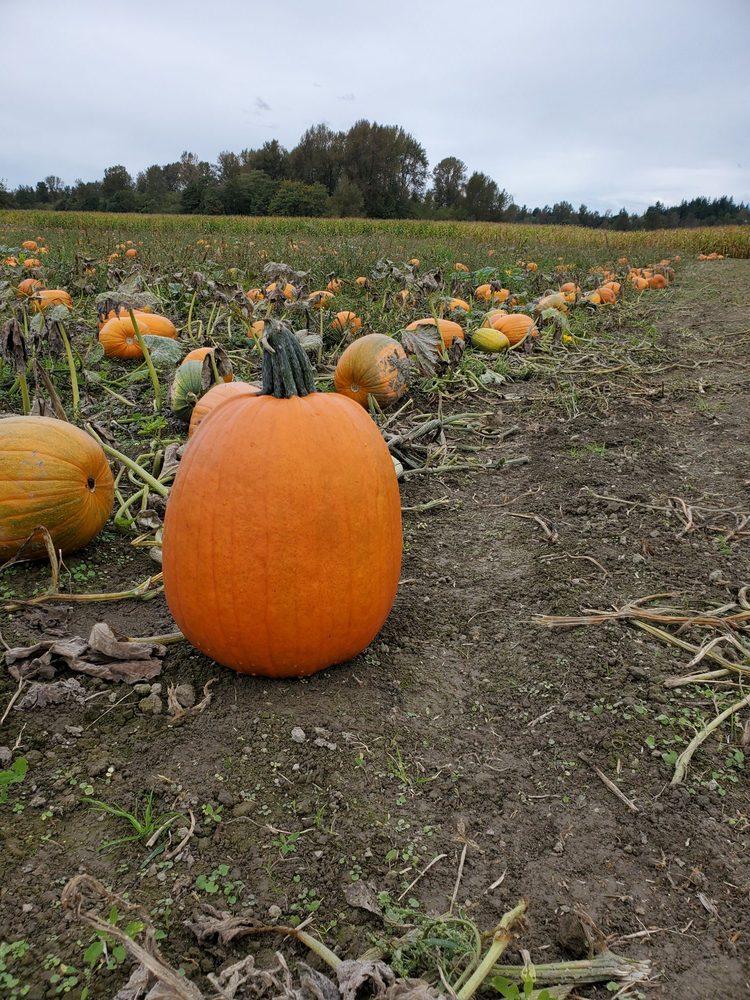 Biringer's Black Crow Pumpkins and Corn Maze: 2431 Hwy 530, Arlington, WA