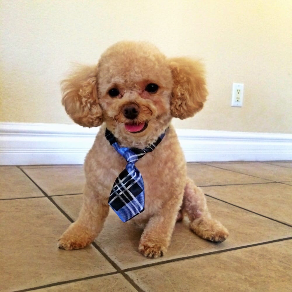 Every Girl Is Crazy Bout A Sharp Dressed Man My Toy Poodle
