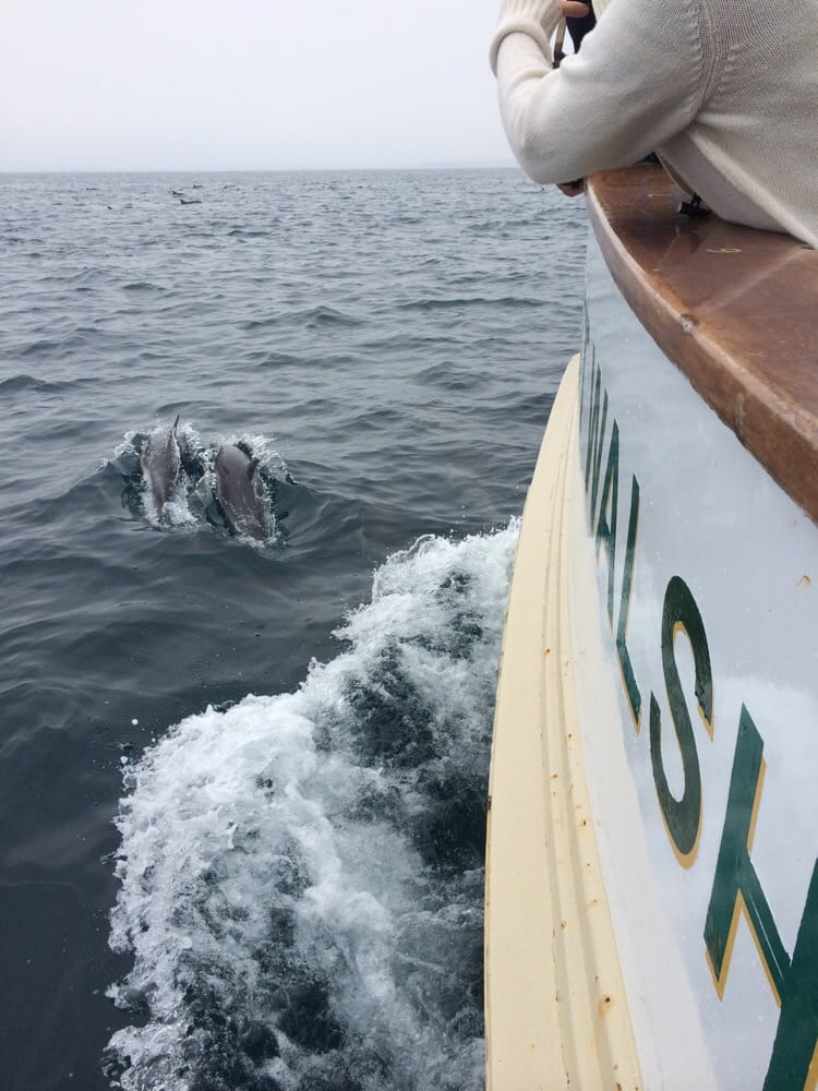 A pod of 300 dolphins yelp for Marina del rey fishing report