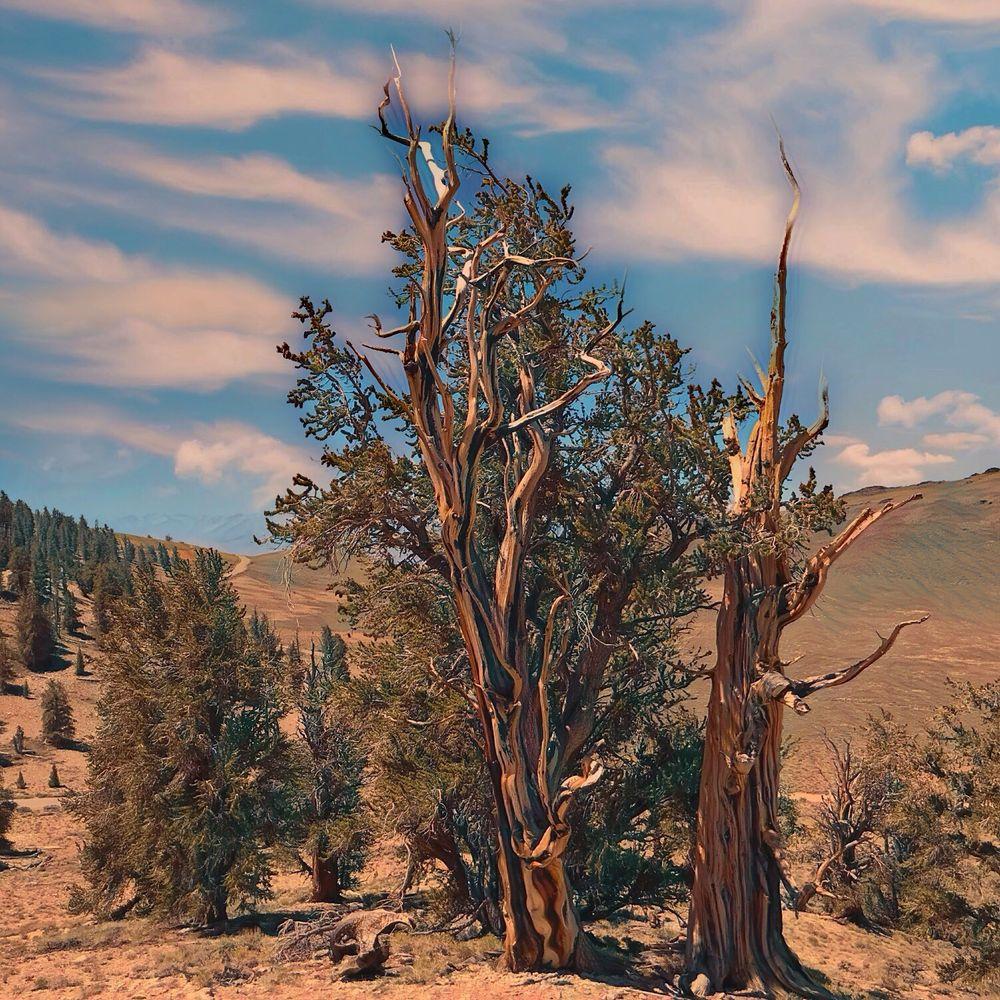 Ancient Bristlecone Pine Forest: 798 N Main St, Bishop, CA