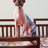 Hollywood Sphynx - 186 Photos & 53 Reviews - Pet Services