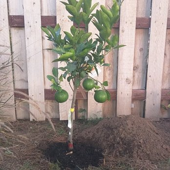 Photo Of Mimosa Nursery Los Angeles Ca United States Grapefruit Tree From