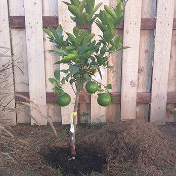 Photo Of Mimosa Nursery Los Angeles Ca United States Grapefruit Tree From