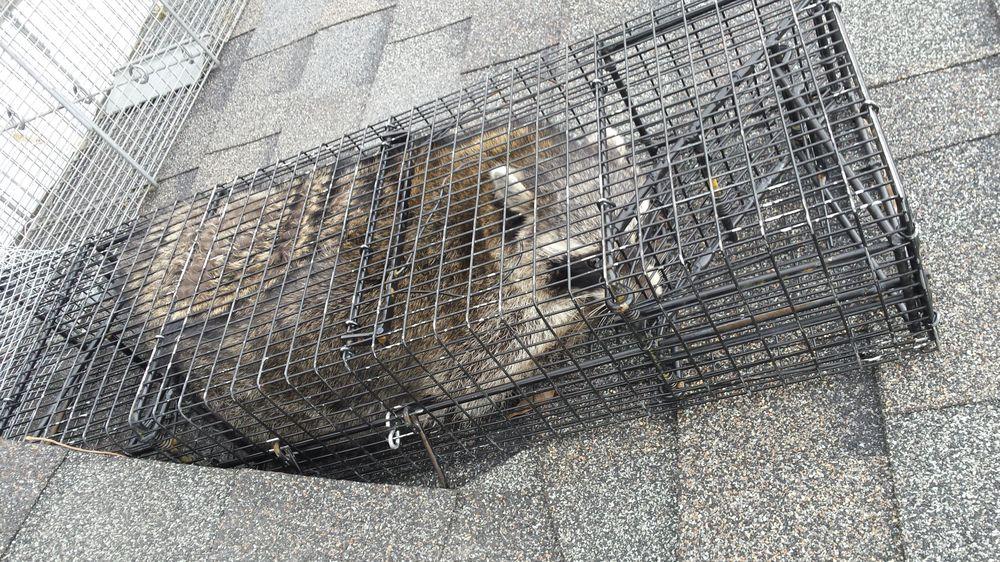 Critters Gone Urban: Roscoe, IL