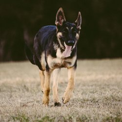 Liberty GSD, AKC German Shepherd Breeder - 2019 All You Need to Know