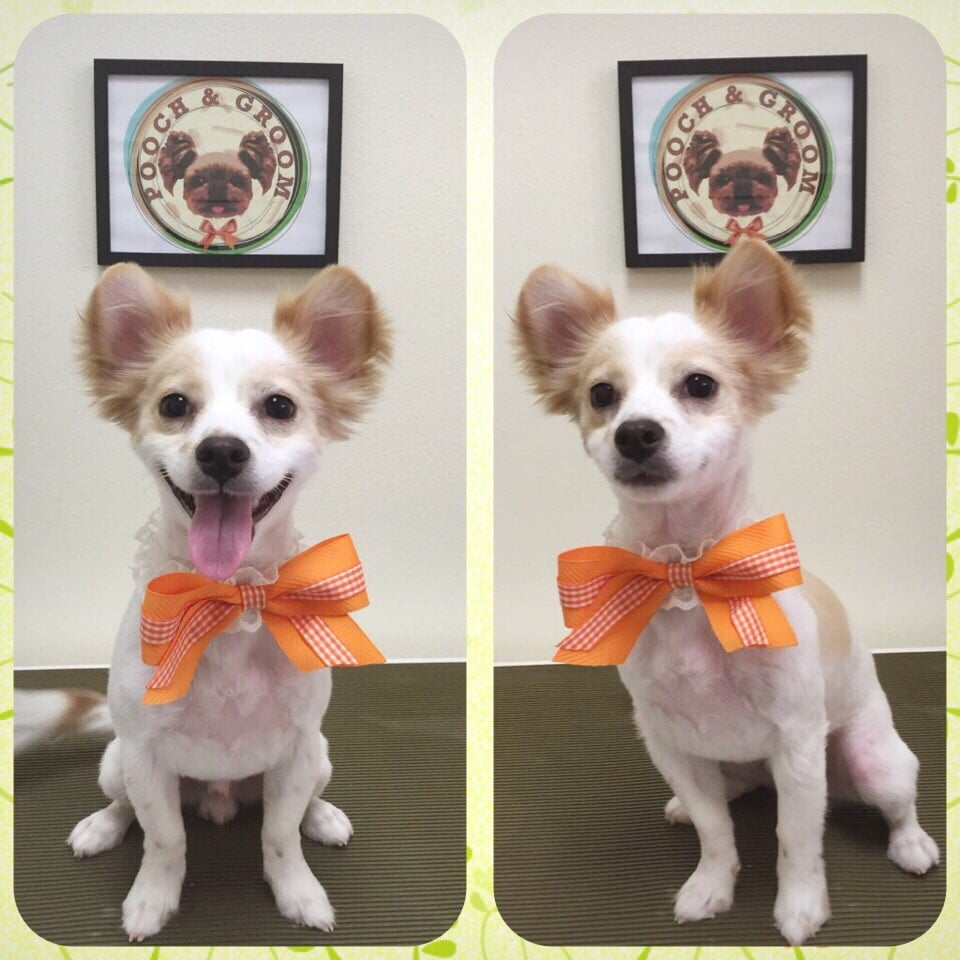 Yoshi The Long Hair Chihuahua And His Summer Cut And Rounded Teddy