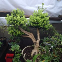 Photo Of Bent Tree Bonsai   Dallas, TX, United States