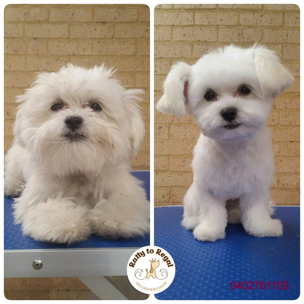 Maltese X Shih Tzu Puppy Full Groom Yelp