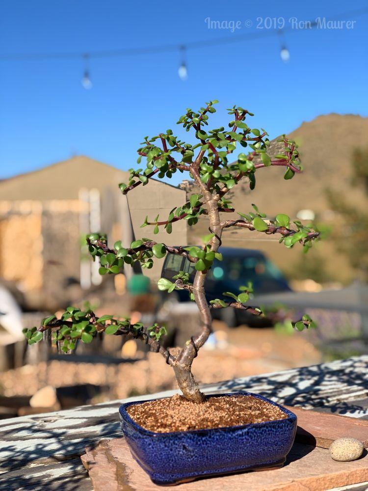 Colorado Bonsai: Wheat Ridge, CO