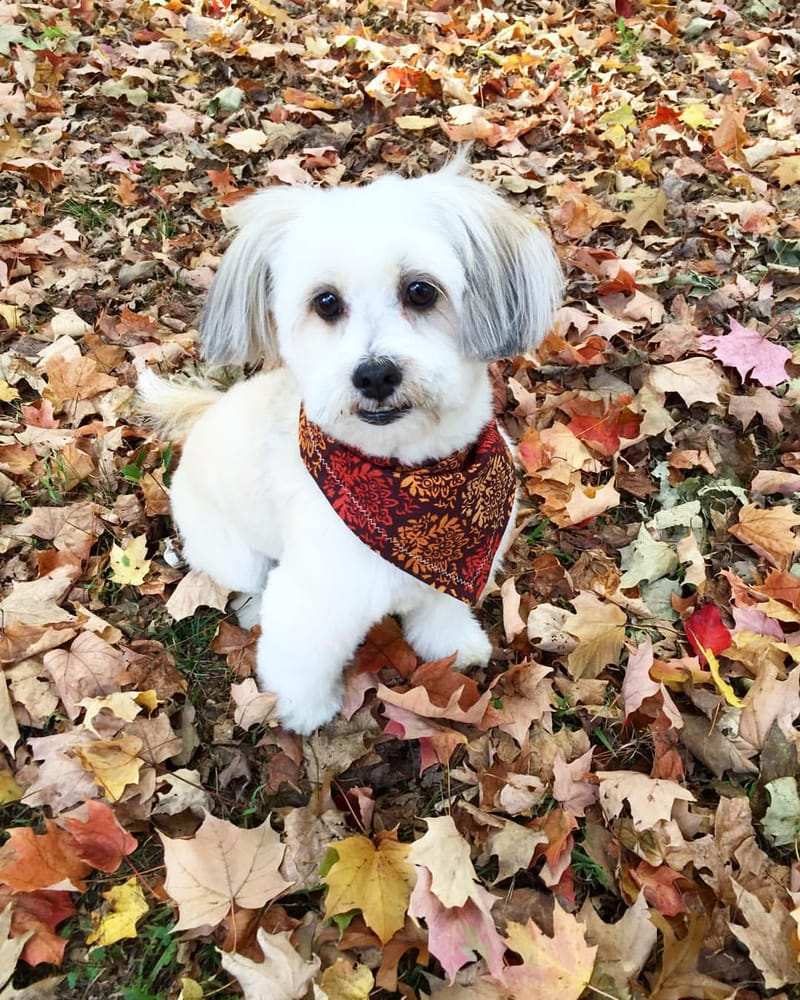 Moses with his autumn haircut and cute bandana from just 4 for 4 paws dog salon