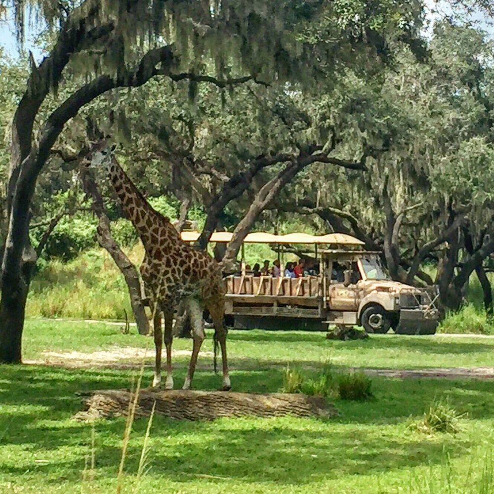 Image of: Tripadvisor 5872 Photos For Disneys Animal Kingdom Theme Park Yelp August 29 2017 Giraffe Kilimanjaro Safaris Disneys Animal