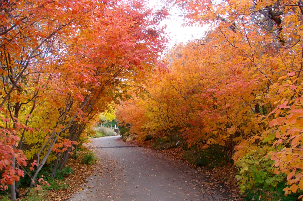 Red Butte Garden Oak Tunnel In The Fall Yelp