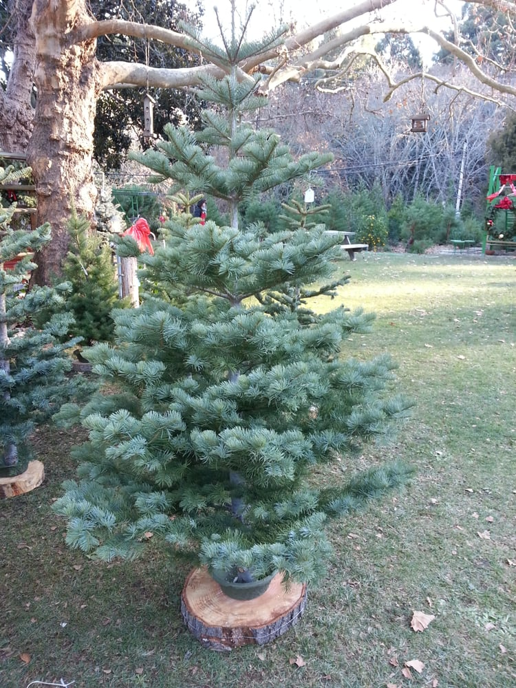 Photo of Patchen California Christmas Tree Farms - Los Gatos, CA, United  States - Photos For Patchen California Christmas Tree Farms - Yelp