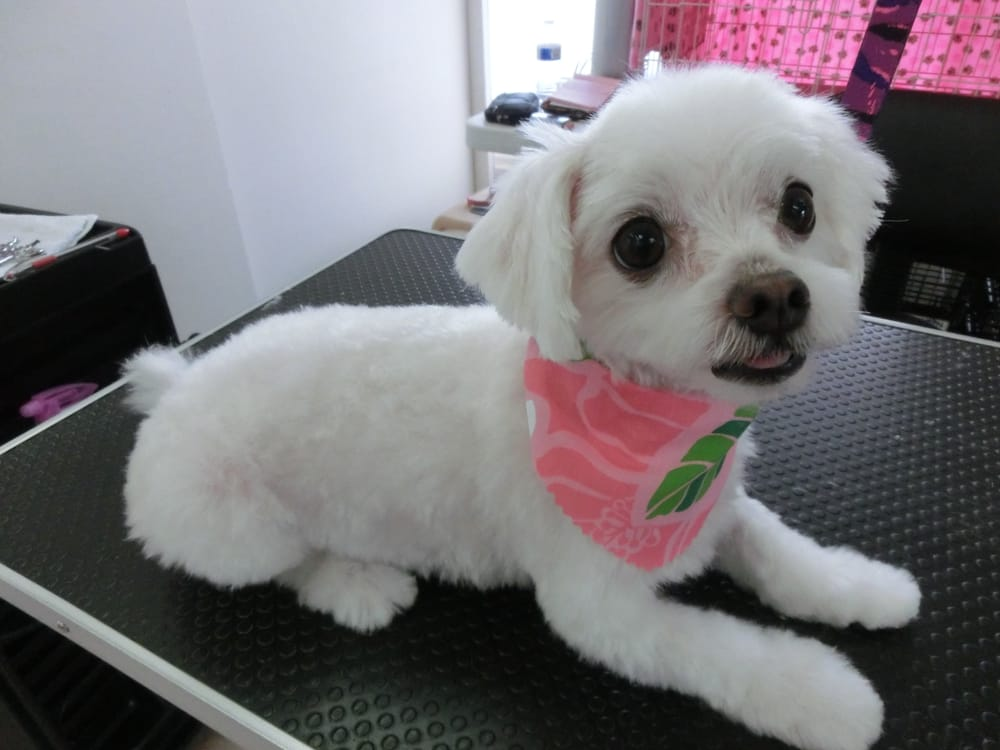 White Cloud 3years Old Maltese Girl After Hair Cut Yelp